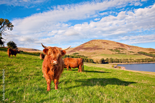 Fototapeta Highland angus cow obraz