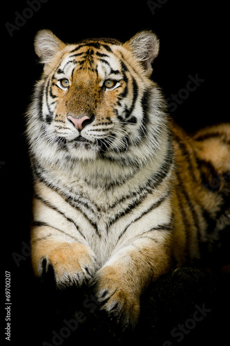 Fotomurales - A tiger ready to attack