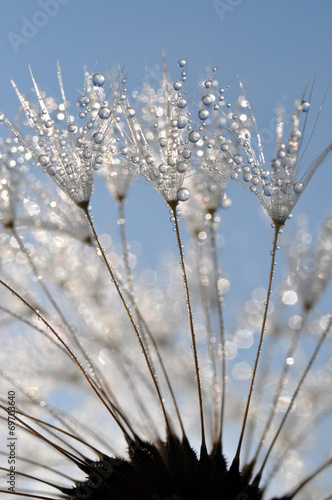 Canvas Prints Dandelions and water dewy dandelion close up