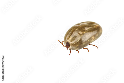 Female tick isolated on white background Poster