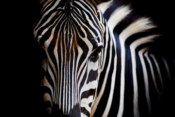 Fototapeta A Headshot of a Burchell's Zebra