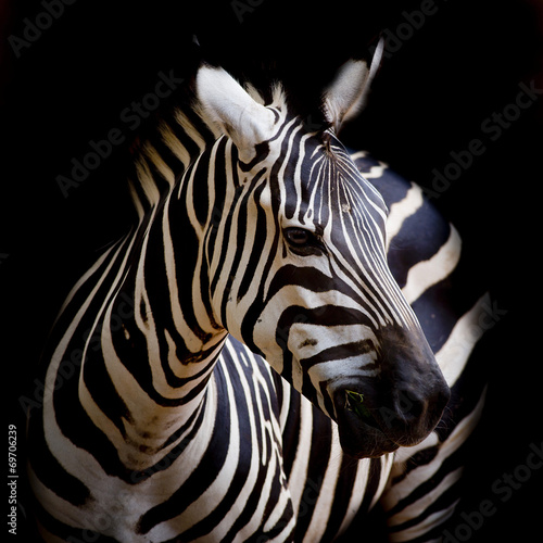 A Headshot of a Burchell's Zebra - 69706239