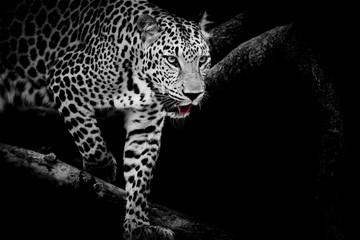 Fototapeta Eko Leopard portrait
