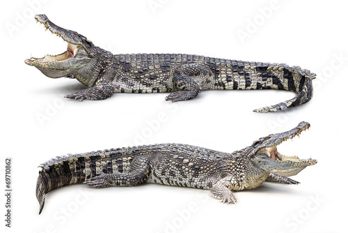 Foto op Canvas Krokodil Crocodile isolated