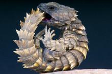 Armadillo Girdled Lizard / Cor...