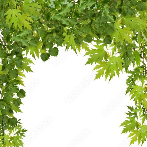 In de dag Bomen Branch of maple with green leaves isolated on white background