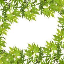 Branch Of Maple With Green Leaves Isolated On White Background