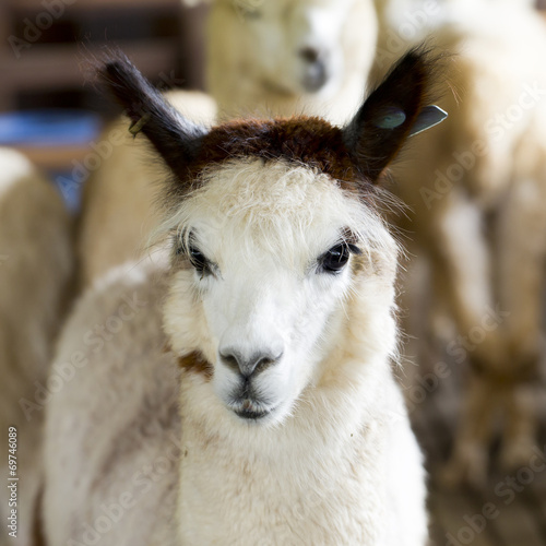 Staande foto Lama Funny and cuties Alpaca