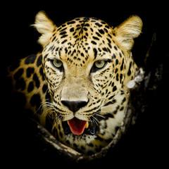 Panel Szklany Pantera Leopard portrait