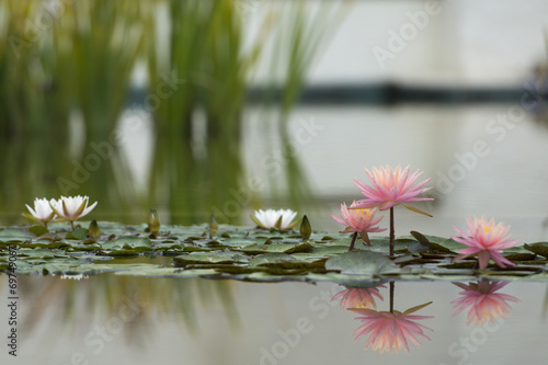 Photo Stands Water lilies Water Lily flower reflection on water