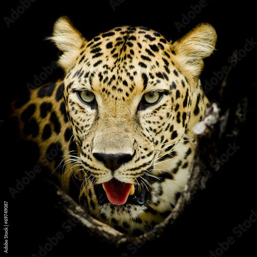 Leopard portrait - 69749087