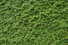 Green Thuja Texture