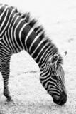 Fototapeta Zebra - Black and white photo of zebra