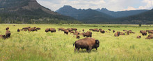 Bisons - Yellowstone National ...