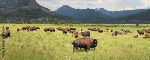 Spoed Fotobehang Buffel Bisons - Yellowstone National Park