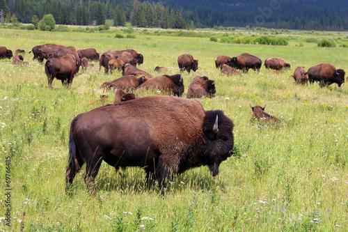 Keuken foto achterwand Buffel Bisons - Yellowstone National Park