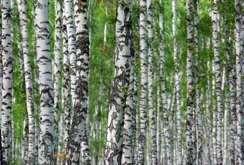 Tuinposter Berkbosje nice summer birch forest background