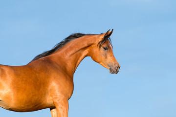 Bay horse head on blue background, Arabian mare.
