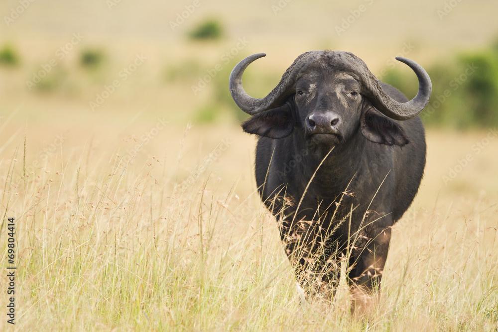 Fototapeta female cape buffalo