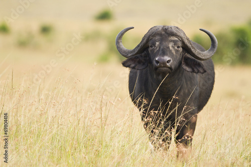 Deurstickers Buffel female cape buffalo