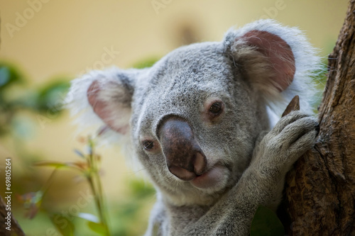 koala bear in forest