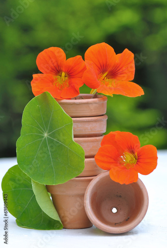 Valokuva  fleurs de capucine