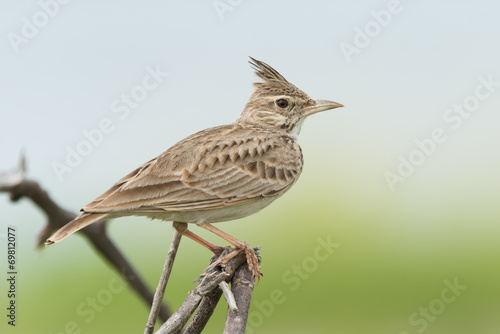 A Crested Lark (Galerida cristata) on an exposed perch Canvas-taulu