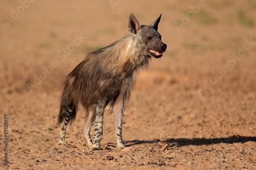 Poster Hyène Brown hyena, Kalahari desert