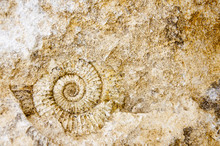 Fossil Ammonite On Stone - Background