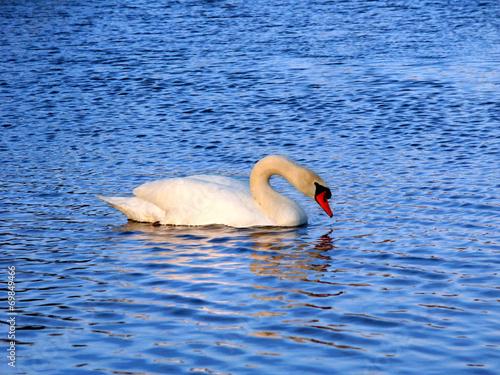 Foto auf Acrylglas Schwan Mute Swan (Cygnus olor) Illinois