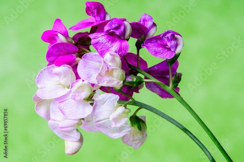 Fiori Viola E Rosa Sfondo Verde In Studio Still Life Buy This