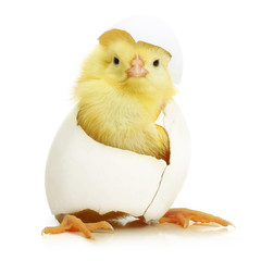 Cute little chicken coming out of a white egg