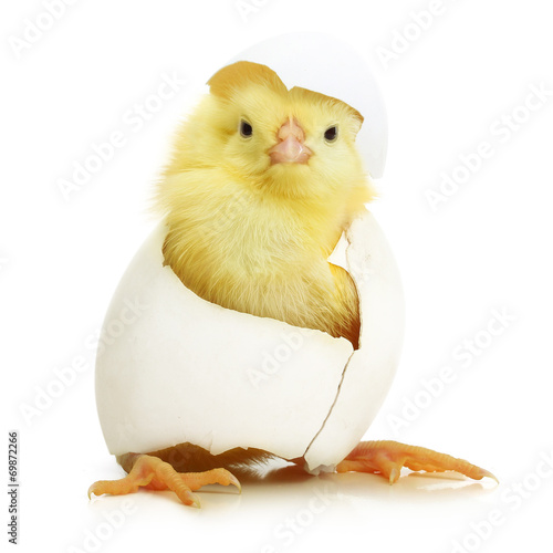 In de dag Kip Cute little chicken coming out of a white egg