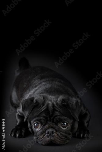 Fotografie, Obraz  Cane Carlino nero isolato su sfondo nero