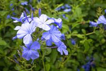 The Sun Is Shining Plumbago Flower (leadworth Flower).