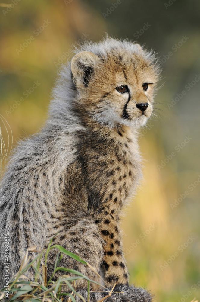 African Cheetah cub
