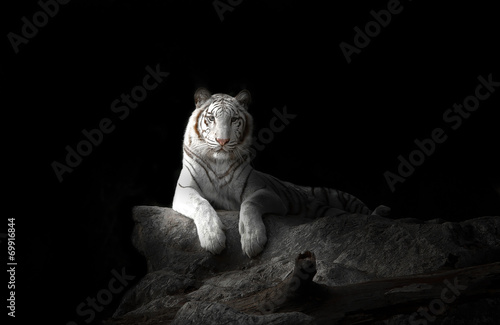 Spoed Foto op Canvas Panter white bengal tiger
