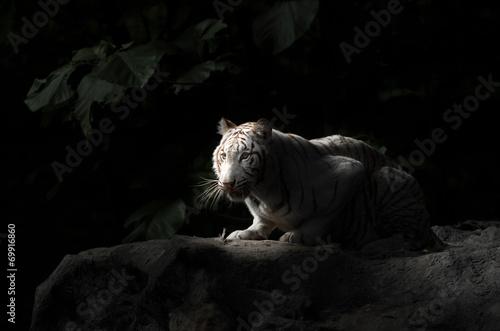 Foto auf AluDibond Tiger white bengal tiger