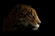 canvas print picture jaguar ( Panthera onca ) in the dark
