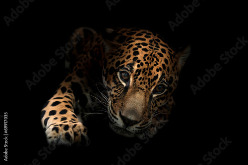 Deurstickers Panter jaguar ( Panthera onca )in the dark