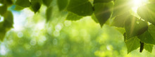 Early Morning In The Forest, Eco Banner