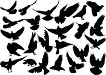Twenty Four Isolated Black Doves