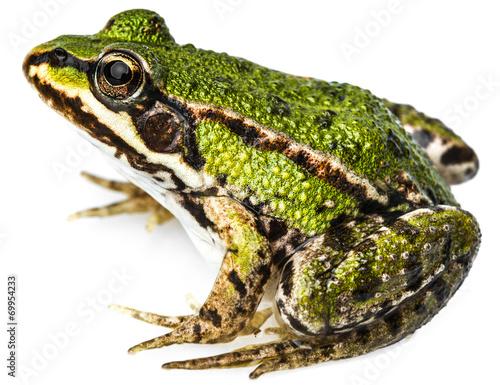 Tuinposter Kikker rana esculenta - common european green frog