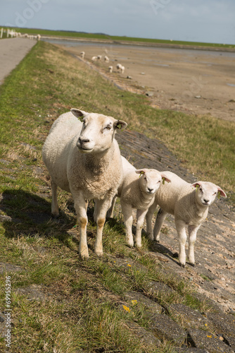 Canvas Prints Sheep Schapen op de Waddendijk van Terschelling in Nederland