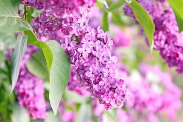 Fototapeta na wymiar purple lilac bush
