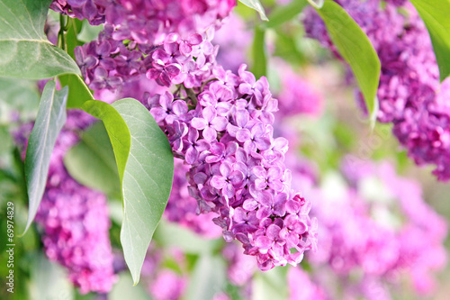 Spoed Foto op Canvas Lilac purple lilac bush