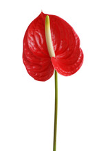 Red Anthurium Flower Isolated ...