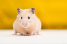 Golden Hamster On Golden Backg...
