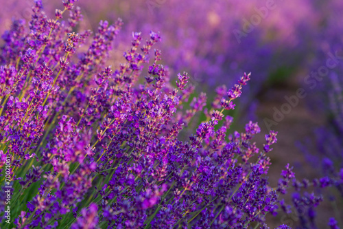 Tuinposter Lavendel Lavender field in Tihany, Hungary