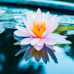Obraz na Szklebeautiful pink waterlily or lotus flower in pond